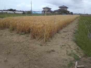 絹の波収穫直前.jpg